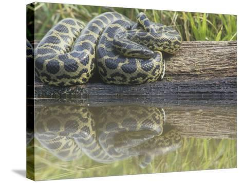 Yellow Anaconda (Eunectes Notaeus), Northern Argentina-Mary Ann McDonald-Stretched Canvas Print