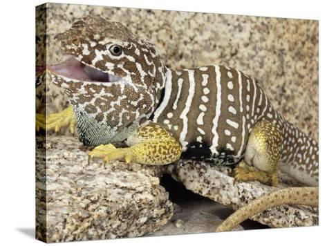 An Adult Baja Collared Lizard, Crotaphytus, in Breeding Coloration-Gerold Merker-Stretched Canvas Print