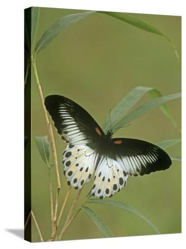 Swallowtail Butterfly (Papilio Polymnestor), India-Leroy Simon-Stretched Canvas Print