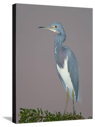 Tricolored Heron, Egretta Tricolor, Venice Rookery, Florida, USA-Arthur Morris-Stretched Canvas Print