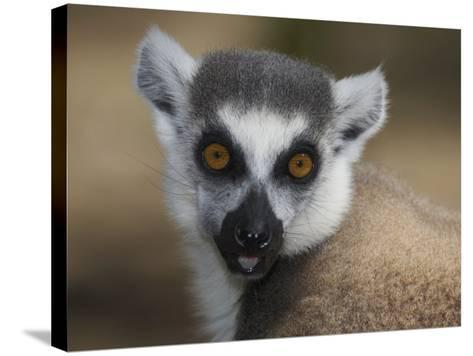 Ring-Tailed Lemur Face (Lemur Catta), Madagascar-Christopher Crowley-Stretched Canvas Print