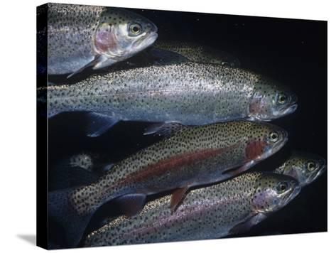 Rainbow Trout or Steelhead (Oncorhynchus Mykiss), California, USA-Ken Lucas-Stretched Canvas Print