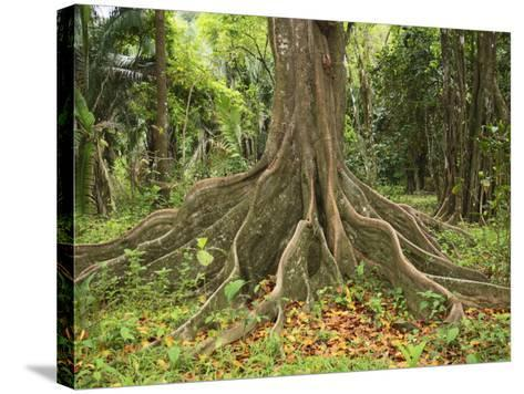 Buttress Roots of the Silk Cotton Tree, Ceiba Pentandra, Which Can Grow to over 60 Meters High-Don Grall-Stretched Canvas Print