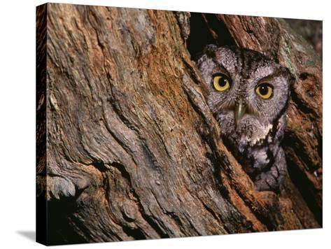Eastern Screech Owl, Otus Asio, North America-Charles Melton-Stretched Canvas Print