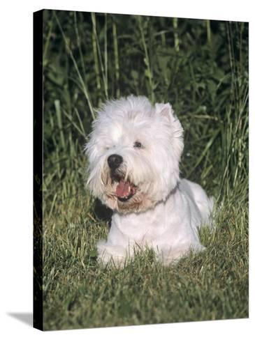 West Highland White Terrier Variety of Domestic Dog-Cheryl Ertelt-Stretched Canvas Print