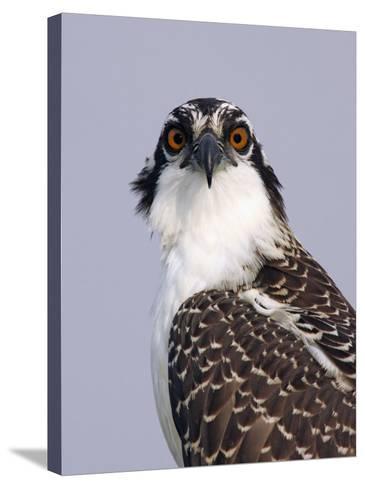 Osprey (Pandion Haliaetus), North America-Arthur Morris-Stretched Canvas Print