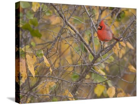 Northern Cardinal (Cardinalis Cardinalis) Male-Jack Michanowski-Stretched Canvas Print