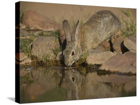 Desert Cottontail-Jack Michanowski-Stretched Canvas Print