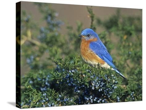 Male Eastern Bluebird (Sialia Sialis) on Juniper, North America. Missouri State Bird-Steve Maslowski-Stretched Canvas Print