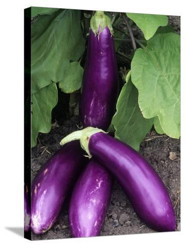 Eggplant 'Neon'-Wally Eberhart-Stretched Canvas Print