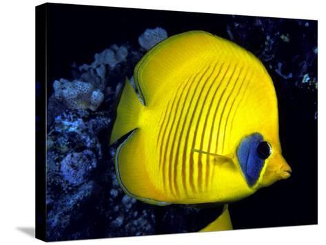Blue-Cheeked Butterflyfish (Chaetodon Semilarvatus), Red Sea-David Fleetham-Stretched Canvas Print