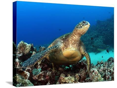 Green Sea Turtle, Chelonia Mydas, Resting on a Coral Reef Off Maui, Hawaii, USA-David Fleetham-Stretched Canvas Print