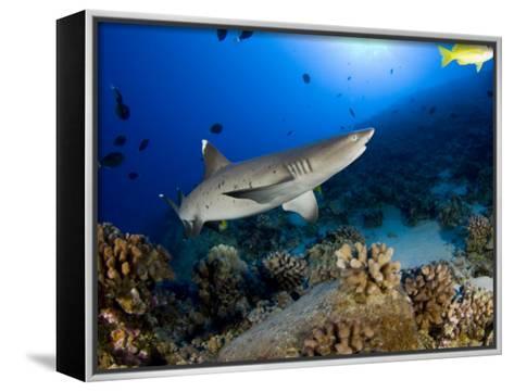 Whitetip Reef Shark (Triaenodon Obesus), Hawaii, USA-David Fleetham-Framed Canvas Print