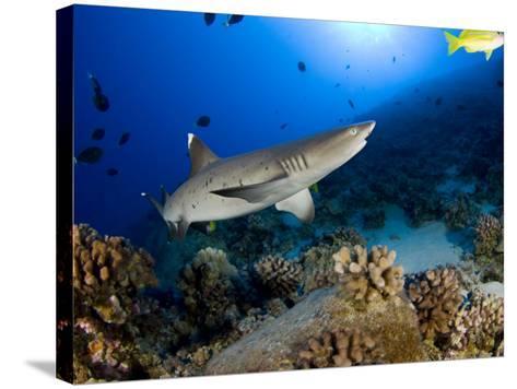 Whitetip Reef Shark (Triaenodon Obesus), Hawaii, USA-David Fleetham-Stretched Canvas Print