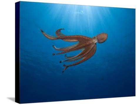 Day Octopus Swimming (Octopus Cyanea), Hawaii, USA-David Fleetham-Stretched Canvas Print
