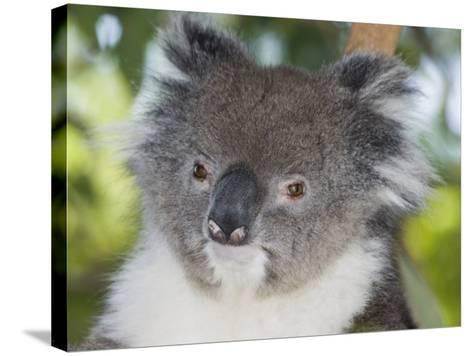 Koala Head (Phascolarctos Cinereus), Australia-David Fleetham-Stretched Canvas Print