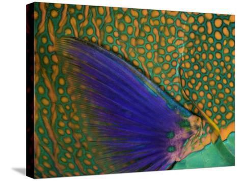 A Bicolor Parrotfish (Cetoscarus Bicolor) Sleeping at Night. Indonesia-David Fleetham-Stretched Canvas Print