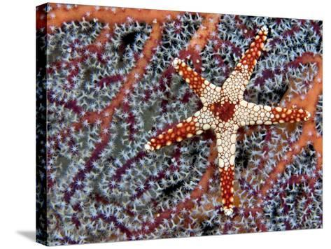 A Necklace Seastar (Fromia Monilis) on a Gorgonian Coral, Indonesia-David Fleetham-Stretched Canvas Print