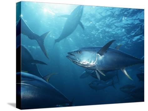 Yellowfin Tuna (Thunnus Albacares) in a Seine Net, Baja California, Mexico-Richard Herrmann-Stretched Canvas Print