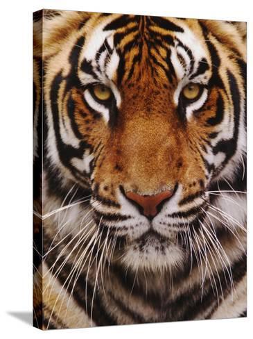 Bengal Tiger Face, Panthera Tigris, Asia-Adam Jones-Stretched Canvas Print