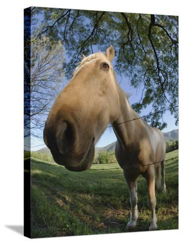 Fisheye View of Horse Looking over Fence, Cades Cove, Great Smoky Mountains N.P. TN-Adam Jones-Stretched Canvas Print
