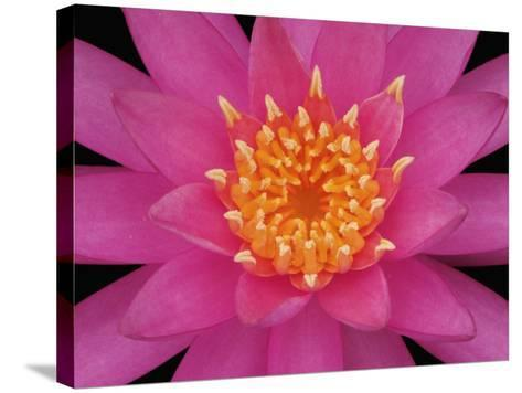 Hybrid Water Lily Flower Close-Up-Adam Jones-Stretched Canvas Print