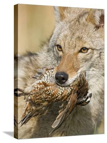 Coyote (Canis Latrans) with Bobwhite Quail Prey in its Mouth, North America-Steve Maslowski-Stretched Canvas Print