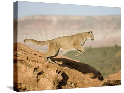 A Puma, Cougar or Mountain Lion, Running and Jumping, Felis Concolor, North America-Joe McDonald-Stretched Canvas Print