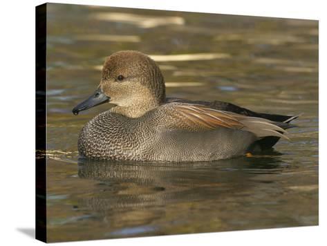 Male Gadwall Duck Swimming, Anas Strepera, North America-Jack Michanowski-Stretched Canvas Print