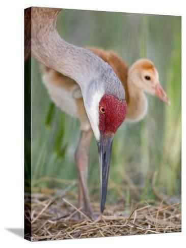Sandhill Crane Adult and Chick at the Nest, Grus Canadensis, Florida, USA-Arthur Morris-Stretched Canvas Print