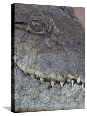 African or Nile Crocodile Head Details, Crocodylus Niloticus, Kenya, East Africa-Arthur Morris-Stretched Canvas Print