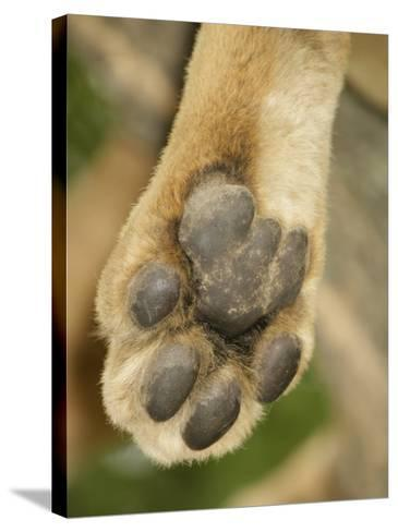 Close-Up of an African Lion's Paw, Panthera Leo, East Africa-Arthur Morris-Stretched Canvas Print