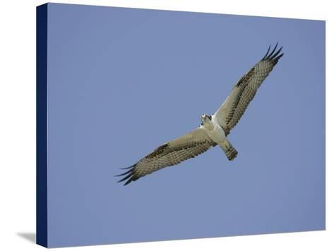 Osprey Flying, Pandion Haliaetus, North America-Arthur Morris-Stretched Canvas Print