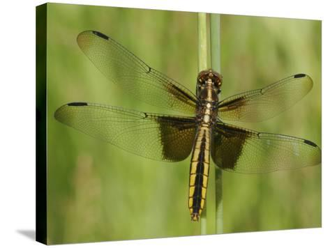 Widow Skimmer Dragonfly (Libellula Luctuosa)-Robert Servrancky-Stretched Canvas Print