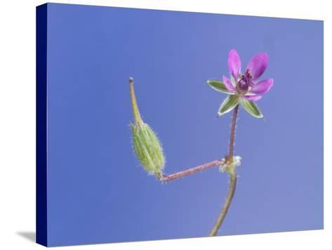 Storksbill Flower and Seed Pod-Solvin Zankl-Stretched Canvas Print