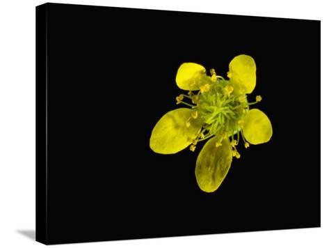 Wood Avens Flower-Solvin Zankl-Stretched Canvas Print