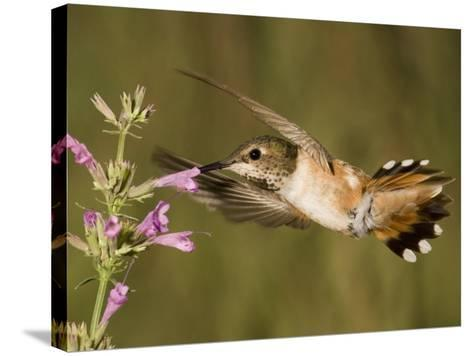 Rufous Hummingbird Female (Selasphorus Rufus) Feeding at a Hyssop Flower (Agastache), Arizona, USA-Charles Melton-Stretched Canvas Print