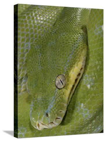 Green Tree Python, , Chondropython Viridis, Adult Specimen, Australia, New Guinea-Jim Merli-Stretched Canvas Print