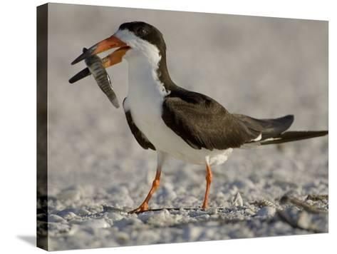 Black Skimmer, Rynchops Niger, with Fish Prey in its Bill, Southern USA-John Cornell-Stretched Canvas Print