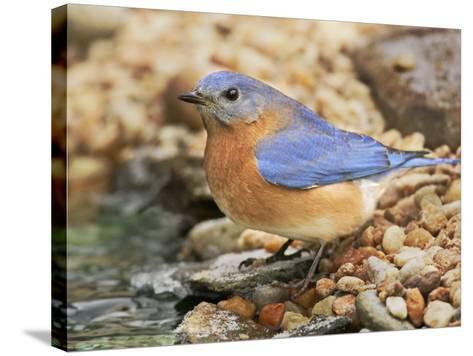 Eastern Bluebird, Sialia Sialis, Eastern USA-John Cornell-Stretched Canvas Print