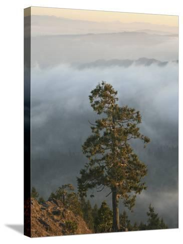 Western Red Cedar on a Ridge in the Western Oregon Coast Range, with Fog in the Valleys Below, USA-Marli Miller-Stretched Canvas Print