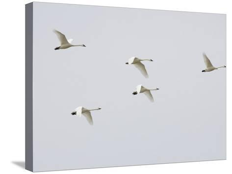 Tundra Swans in Flight (Olor Columbianus), Montana, USA-Neal Mishler-Stretched Canvas Print