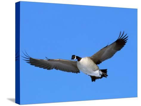 Canada Goose (Branta Canadensis) in Flight, North America-Neal Mishler-Stretched Canvas Print
