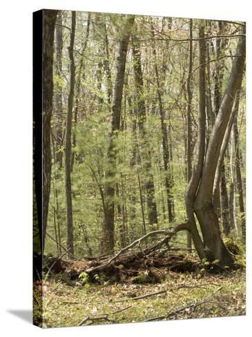 Trees Growing over a Decomposing Nurse Log in the Eastern Deciduous Forest, New England, USA--Stretched Canvas Print