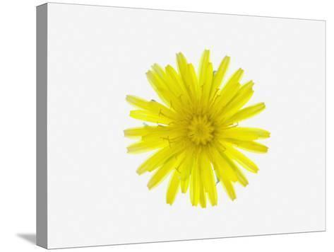 Dandelion Flower (Taraxacum Officinale), a Composite--Stretched Canvas Print