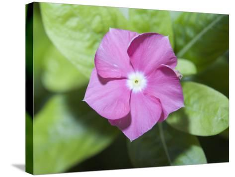 Rosy Periwinkle (Catharanthus Roseus), the Source of an Anti-Cacer Drug--Stretched Canvas Print