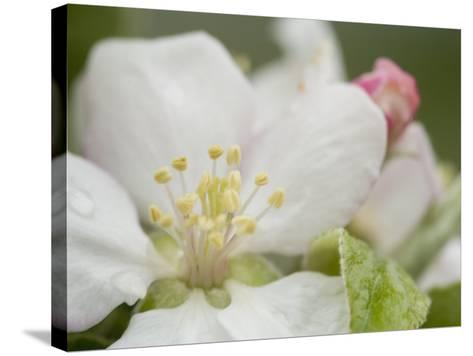 Apple Blossom--Stretched Canvas Print