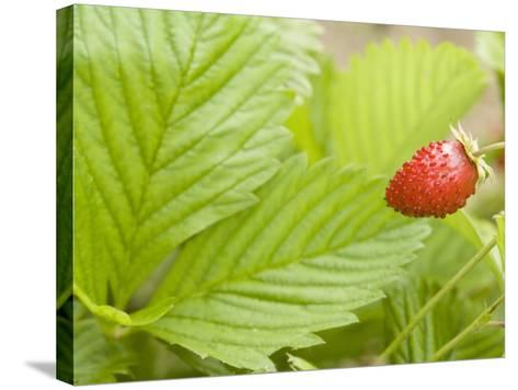 Strawberry--Stretched Canvas Print