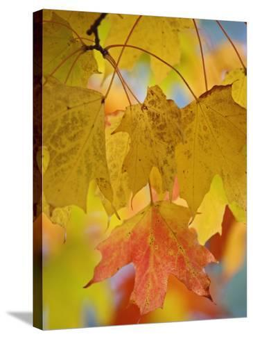 Maple Leaves in the Fall (Acer)-Adam Jones-Stretched Canvas Print
