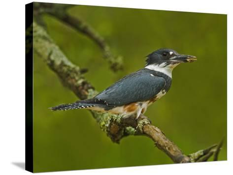 Female Belted Kingfisher with Prey in its Cavity (Ceryle Alcyon), Eastern USA-Adam Jones-Stretched Canvas Print
